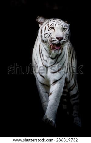 White tiger walking isolated on black background - stock photo
