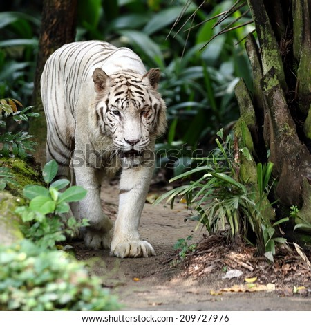 White Tiger Walking Towards the Viewer - stock photo
