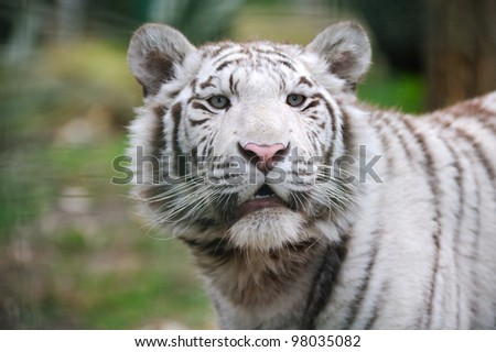 White tiger with mouth open looks at camera - stock photo