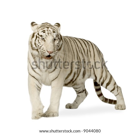 White Tiger (3 years) in front of a white background - stock photo