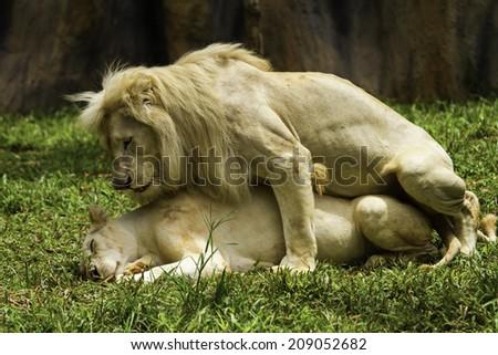 White tigers are breeding - stock photo