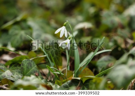 White tiny flowers among ivy leaves stock photo royalty free white tiny flowers among ivy leaves mightylinksfo