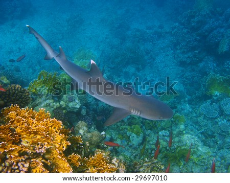White-tip reef shark and coral reef - stock photo