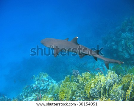 White-tip reef shark and reef - stock photo