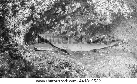 White tip reef shark in black and white - stock photo