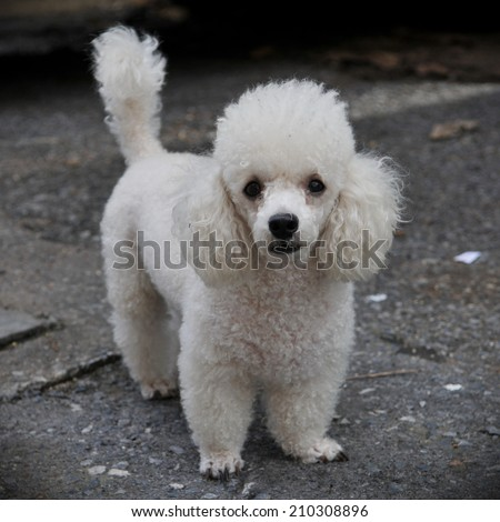 White Toy Poodle Dog on a City Street - stock photo