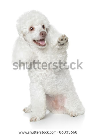 White Toy Poodle gives that a paw on white background - stock photo