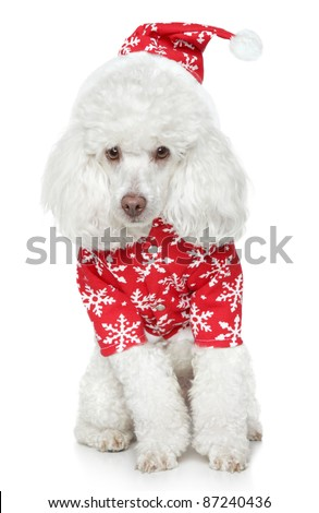 White toy poodle in christmas hat on a white background - stock photo