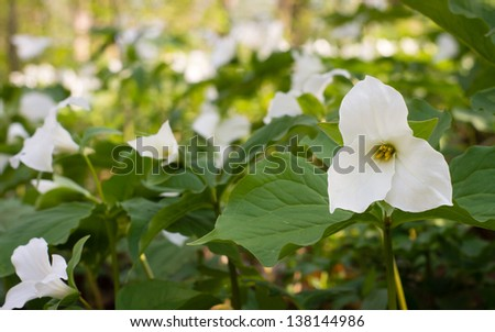 White Trillium are among some of the early spring wildflowers to bloom in North America. - stock photo