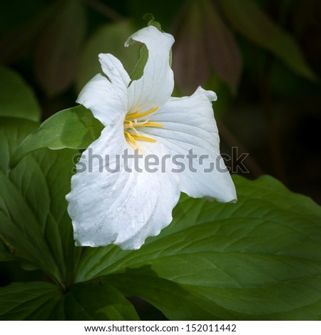White Trillium (Trillium grandiflorum) Bloom - against green - stock photo
