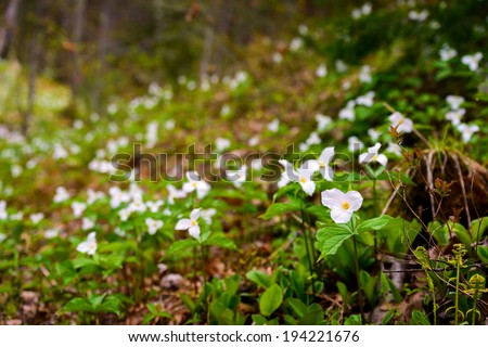 White Trilliums growing in a valley.  Trillium grandiflorum is the official emblem of the Province of Ontario and the State Wildflower of Ohio.  - stock photo
