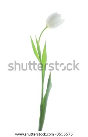 white tulip - stock photo