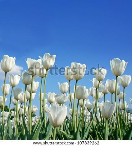 White tulip (botanical name : Tulipa spp.) against blue sky background - stock photo