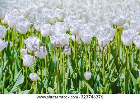 White Tulips - stock photo
