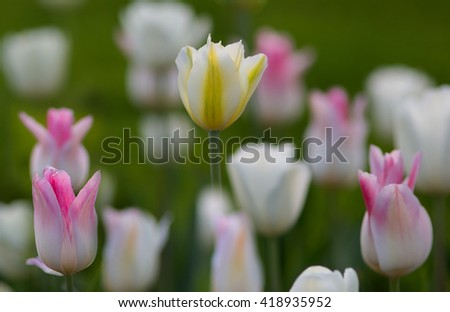 White tulips, delicate pastel shades. Selective focus, blurred background. - stock photo