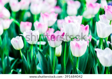 White tulips flower field blooming in the garden. - stock photo