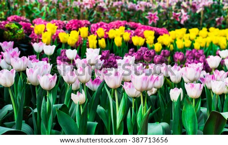 White tulips flower field blooming in the garden.yellow tulips flower field blooming in the background. - stock photo