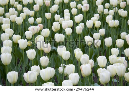 White Tulips in a garden.