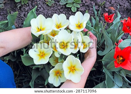 White tulips in hands on a flowerbed. The quality of medium format - stock photo