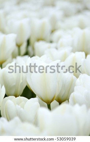 White tulips in the Netherlands - stock photo