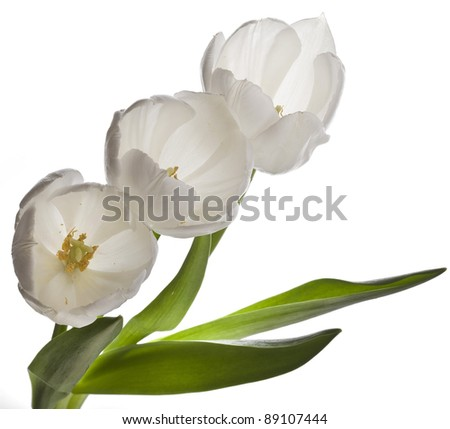 white tulips isolated on white - stock photo