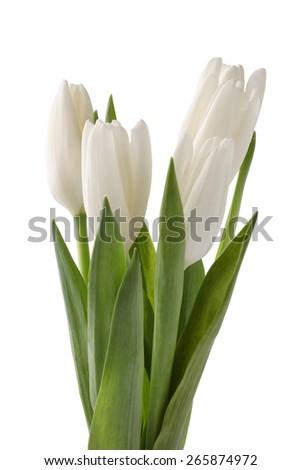 White tulips isolated on white background - stock photo