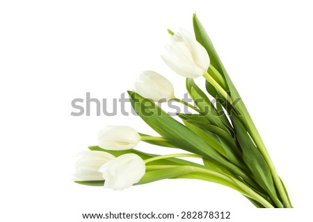 White tulips on white background - stock photo
