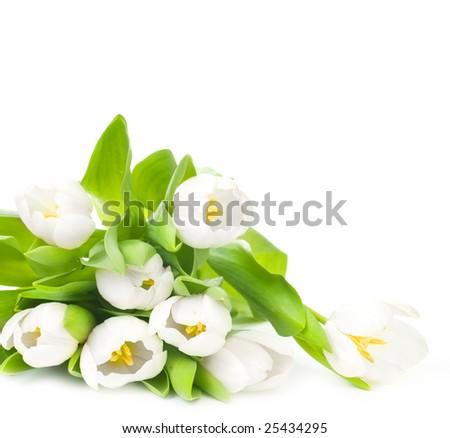 White Tulips over white - stock photo