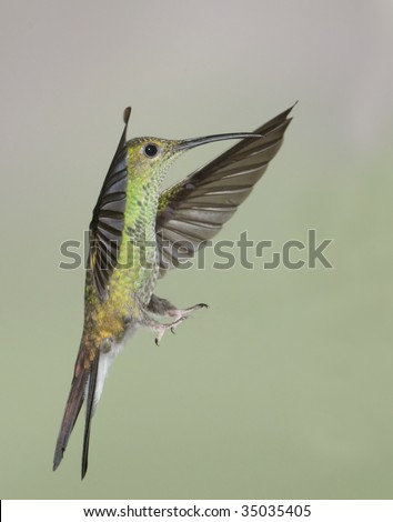 White-vented plumeleteer (Chalybura buffonii) coming in for a landing - stock photo