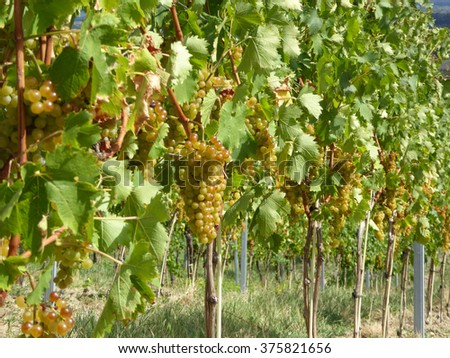 White vine grapes plants in austrian farm ready for vine production