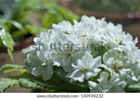 White Violet - stock photo