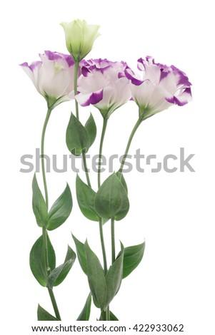 White violet Eustoma on white background  - stock photo