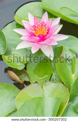 White violet water lily lotus flower in pond.