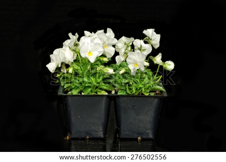 White violets in a pony pack on black background - stock photo
