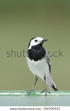 White Wagtail - stock photo