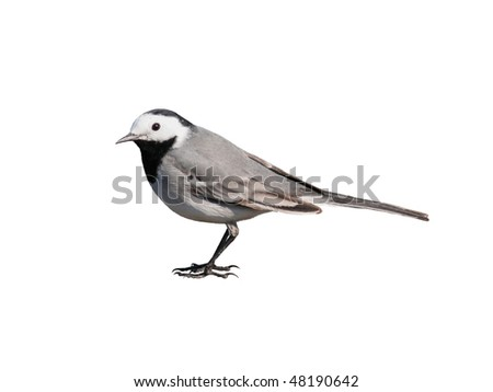 white wagtail, isolated on white - stock photo