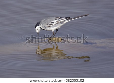 White Wagtail (Motacilla alba) - stock photo