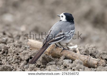 White Wagtail on soil - stock photo