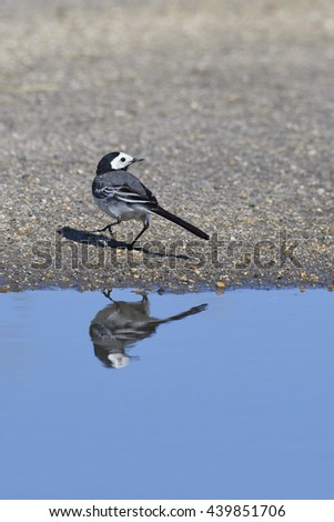 White wagtail with reflexion - stock photo