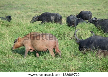 white water buffalo in group.