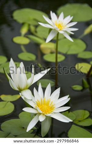 White water lilies flowering in a pond with lily pad leaves, tranquil scene. - stock photo