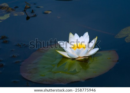 White water lilly - stock photo