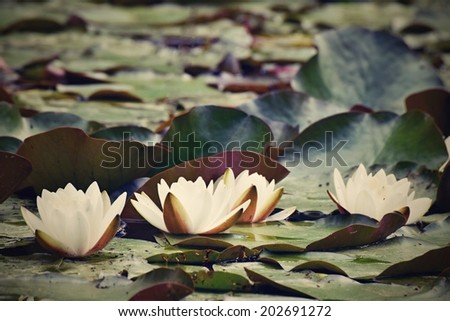 White water lily in a pond - stock photo
