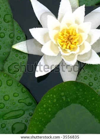 white water lily in between green leafs - stock photo