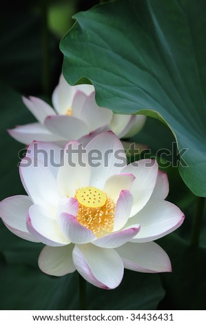 White water-lily portrait - stock photo