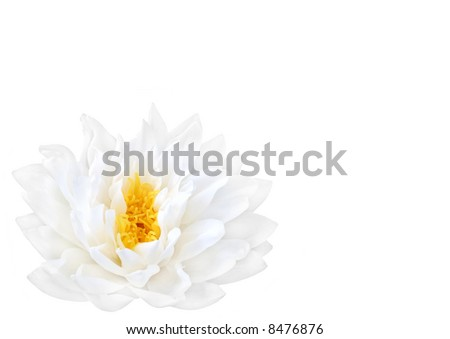 White water lily with yellow stamens in full flower. (Gladstoniana genus.) Isolated over white.