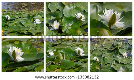 White waterlily on background of leaves in  pond.