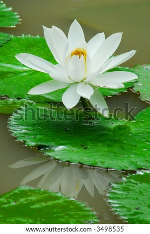white waterlily with reflection in a pond - stock photo