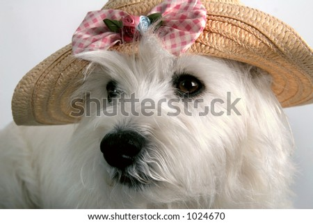 White West Highland Terrier wearing a child's straw hat - stock photo