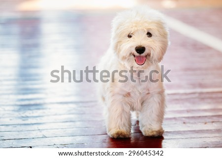 White West Highland White Terrier (Westie, Westy) Dog Close Up Portrait - stock photo